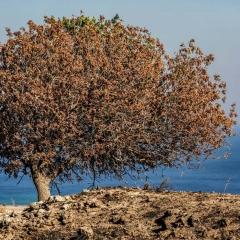 Griechischer Baum